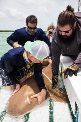 Shark release on field research course