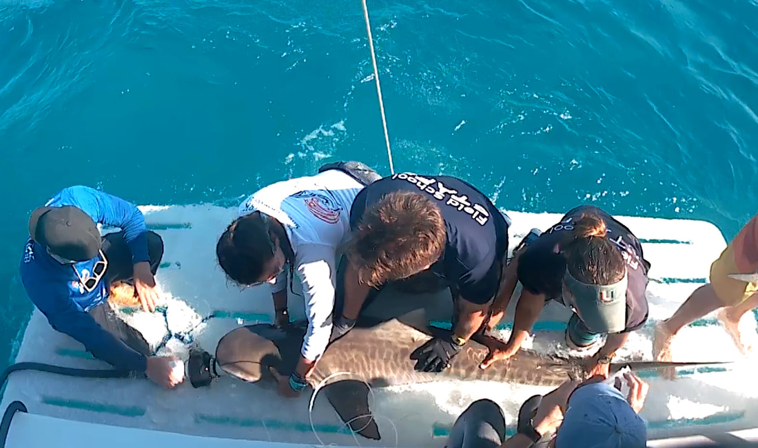 Here the team works up a tiger shark (Galeocerdo cuvier) before releasing  it in excellent condition! ae68602e0c9b